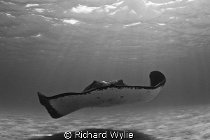 Gentle Giant - taken while free diving. Smooth Rays can g... by Richard Wylie